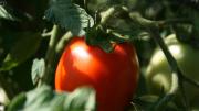 A luscious Italian tomato