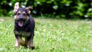 Running German Shepard puppy