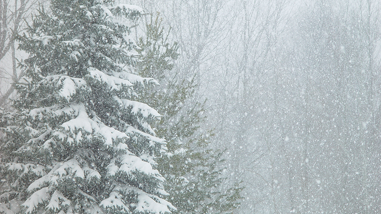 Snow on pine trees