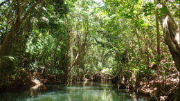 Indian River (by Elizabeth Thomas): the longest river on the island of Dominica
