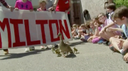 Make way for Milton's Ducklings!