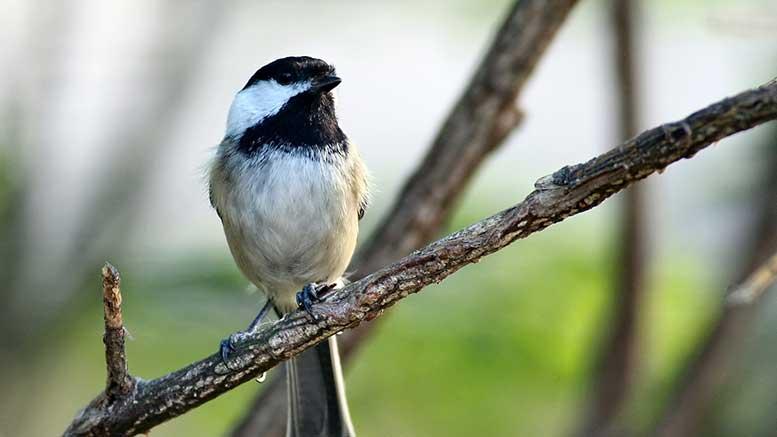 Black Cap Chickadee bird
